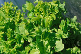 salad greens stock photography | Food, Lettuce in vegetable garden, image id 4-798-26
