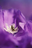 pest stock photography | California, Mendocino County, Purple rose, image id 4-798-30