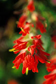 close up stock photography | California, Mendocino County, Indian Paintbrush, image id 4-798-34