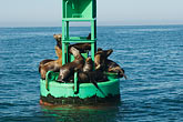 horizontal stock photography | California, Santa Barbara, Buoy, Santa Barbara Channel, with Sea Lions, image id 4-930-5432