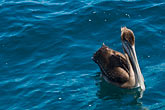 marine stock photography | Birds, Brown Pelican, image id 4-930-5498