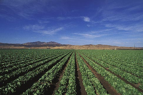 image 5-127-13 California, Central Valley, Lettuce fields
