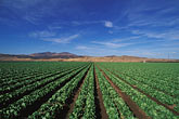 central valley stock photography | California, Central Valley, Lettuce fields, image id 5-127-13