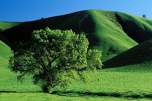 image 5-147-20 California, Contra Costa, Oak tree in springtime