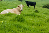 pasture stock photography | California, Cattle in pasture, image id 5-630-2872