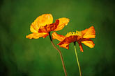 image 5-640-23 California, Mendocino County, Poppies