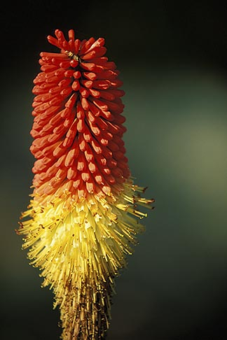 image 5-640-24 California, Mendocino County, Red Hot Poker, Torch Lily Kniphofia uvaria