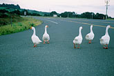 horizontal stock photography | California, Mendocino County, Albion, Geese on Highway 1, image id 5-640-46