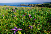 pink flowers stock photography | California, Mendocino County, Albion, Wild Iris flowers on hillside, image id 5-640-57