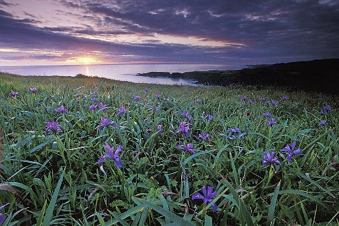 image 5-640-99 California, Mendocino County, Sunset and wild iris, Albion Cove