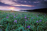 sunset and wild iris stock photography | California, Mendocino County, Sunset and wild iris, Albion Cove, image id 5-640-99