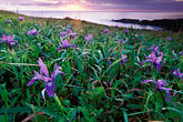 sunset and wild iris stock photography | California, Mendocino County, Sunset and wild iris, Albion Cove, image id 5-641-1