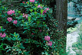 color stock photography | California, Mendocino County, Albion Ridge, Wild Rhododendron, image id 5-641-3