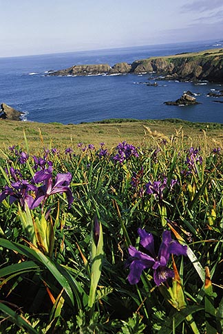 image 5-641-59 California, Mendocino County, Wild Iris and Albion Cove