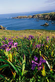 pink flowers stock photography | California, Mendocino County, Wild Iris and Albion Cove, image id 5-641-59