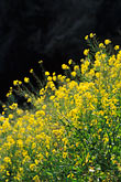 color stock photography | California, Mendocino County, Mustard flowers, image id 5-642-32