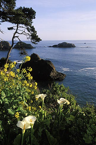 image 5-642-46 California, Mendocino County, Elk, Coastal bluffs and calla lilies