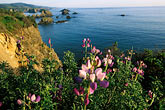 sunlight stock photography | California, Mendocino County, Coastal bluffs and lupine flowers near Elk, image id 5-642-49