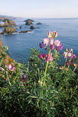image 5-642-50 California, Mendocino County, Coastal bluffs and lupine flowers near Elk