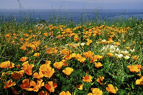 image 5-642-92 California, Mendocino County, California poppies, Navarro Bluff