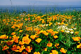 sea stock photography | California, Mendocino County, California poppies, Navarro Bluff, image id 5-642-92
