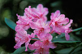 color stock photography | California, Mendocino County, Albion Ridge, Wild Rhododendron, image id 5-643-15