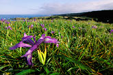 wildflowers on the coast stock photography | California, Mendocino County, Albion, WIld Iris on hillside, image id 5-643-44