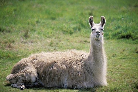 image 5-643-55 California, Mendocino County, Albion, Llama