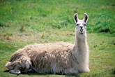 horizontal stock photography | California, Mendocino County, Albion, Llama, image id 5-643-55