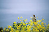 horizontal stock photography | California, Mendocino County, Songbird and mustard flowers, image id 5-643-58