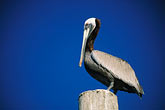 water stock photography | California, Brown Pelican, image id 5-670-34