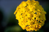 blossom stock photography | California, Moss Landing, Yellow Sand Verbena, Abronia latifolia, image id 5-671-18