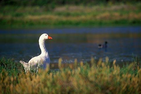 image 5-672-14 California, Santa Cruz County, Pajaro Dunes, Goose in lagoon