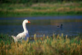 white stock photography | California, Santa Cruz County, Pajaro Dunes, Goose in lagoon, image id 5-672-14