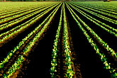 cultivation stock photography | California, Monterey County, Strawberry fields, image id 5-672-6