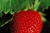 colour stock photography | California, Monterey County, Fresh Strawberry, image id 5-673-23