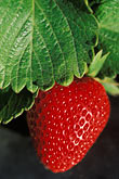 red stock photography | California, Monterey County, Fresh Strawberry, image id 5-673-29