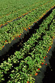 cultivation stock photography | California, Monterey County, Strawberry fields, image id 5-673-35