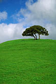 tree stock photography | California, Contra Costa, Oak tree, Alhambra Valley Road, image id 5-92-30
