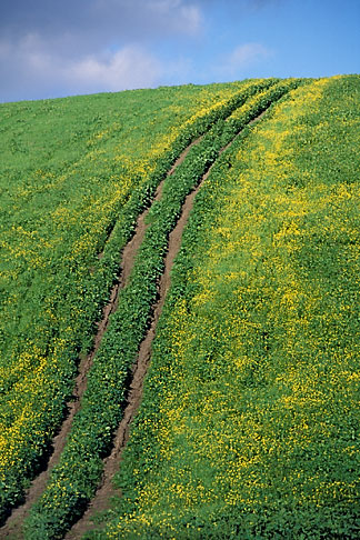 image 5-93-24 California, Contra Costa, Mustard flowers on hillside, Antioch