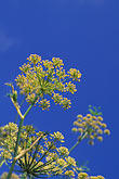 blue sky stock photography | California, Mustard, image id 6-282-5