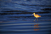 wading bird stock photography | California, Morro Bay, Marbled Godwit (Limosa fedoa), image id 6-473-77