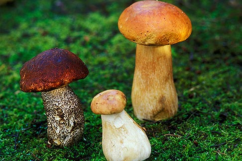 image 6-486-87 California, Mendocino , Wild Mushrooms, Copper Top Leccinum manzanitae and Porcini Boletus edulus