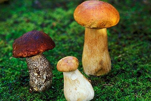 image 6-486-87 California, Mendocino , Wild Mushrooms, Copper Top Leccinum manzanitae and Porcini Boletus edulus