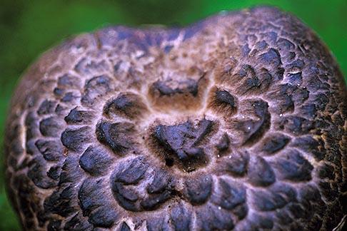 image 6-487-7 California, Mendocino , Hawksbill WIld Mushroom Sarcodon imbricatum