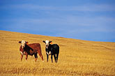 cows stock photography | California, Monterey County, Cows on hillside, image id 7-270-11