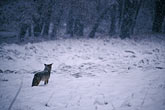 coyote in the snow stock photography | California, Yosemite National Park, Coyote in the snow, image id 7-583-99