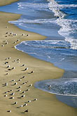 cowell beach stock photography | California, Santa Cruz, Cowell Beach, Gulls, image id 7-602-32