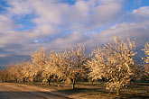 crop stock photography | California, Modesto, Almond orchard in bloom, image id 8-182-4