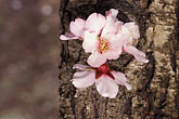 multicolour stock photography | California, Modesto, Almond blossoms, image id 8-183-15